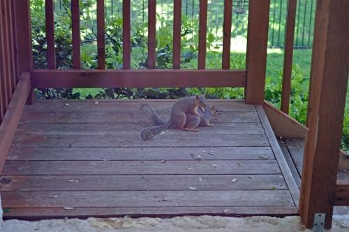 squirrrels mating 2